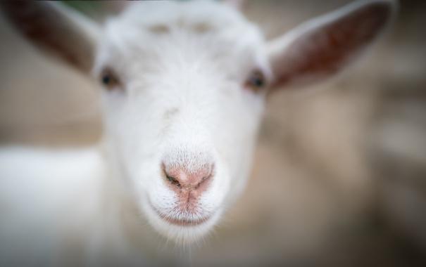 Фото обои улыбка, фон, овца