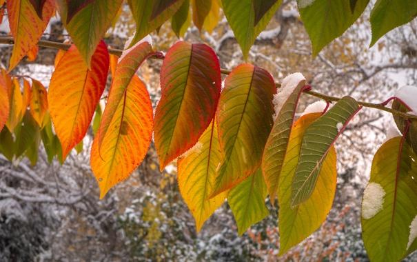 Фото обои осень, листья, макро, снег, ветка
