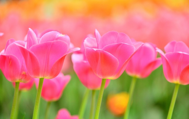 Фото обои природа, лепестки, сад, луг, тюльпаны