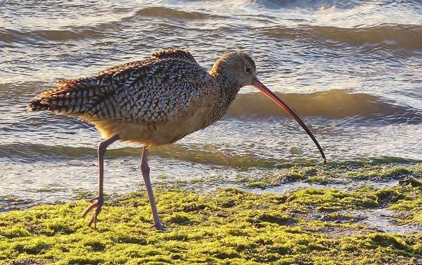 Фото обои птица, вода, берег, кроншнеп, клюв