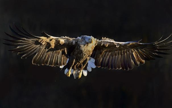 Фото обои природа, птица, White Tailed Eagle