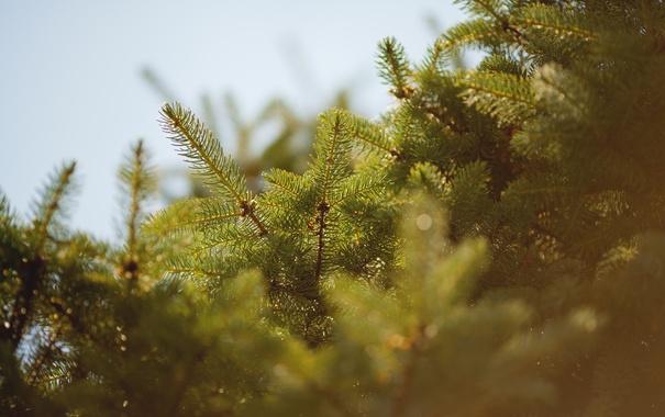 Фото обои иголки, елка, иголочки