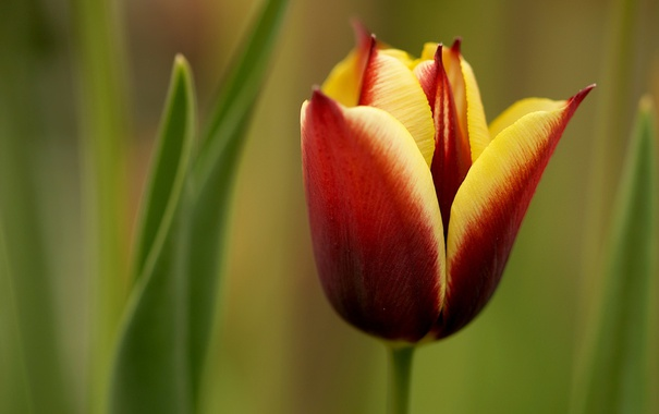 Фото обои цветок, макро, природа, тюльпан