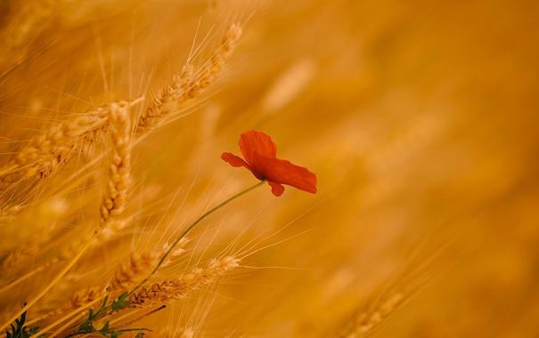 Фото обои природа, мак, колосья