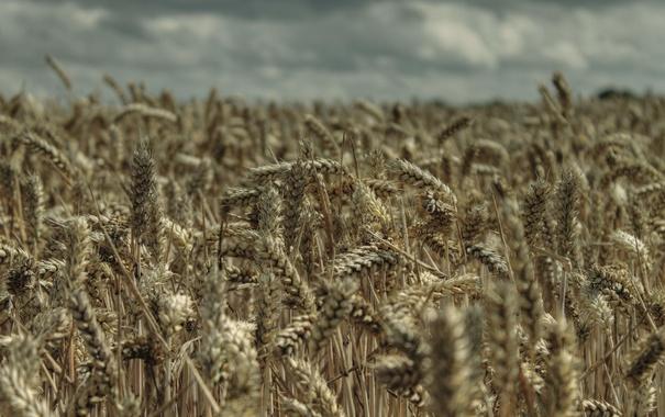 Фото обои пшеница, поле, природа, урожай, колосья