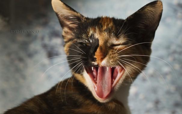 Фото обои язык, кошка, зивает, трёхцветная