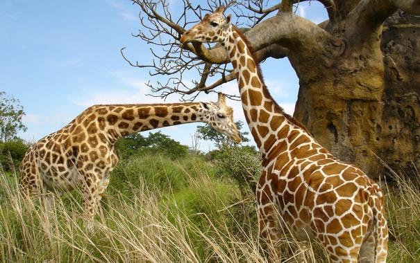 Фото обои жираф, природа, сафари