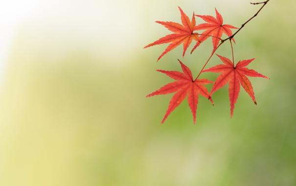 Фото обои осень, листья, обои, клен