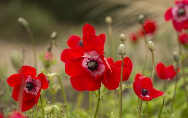 Фото обои цветок, лепестки, цветение, анемоны