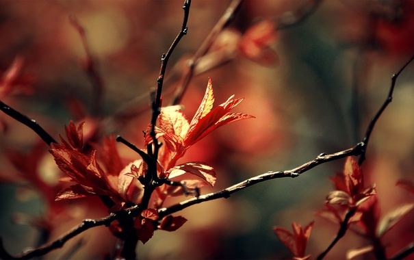 Фото обои red, autumn, leaves, leaf, delight