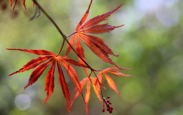 Фото обои листья, ветка, семена, Hans Holt