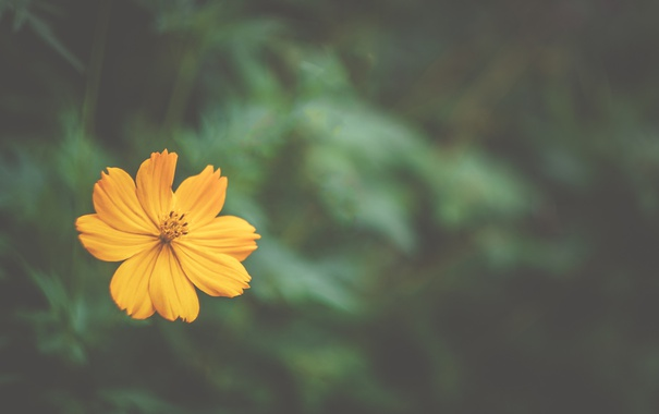 Фото обои цветок, лепестки, боке