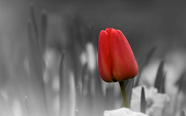 Фото обои природа, цветок, тюльпан