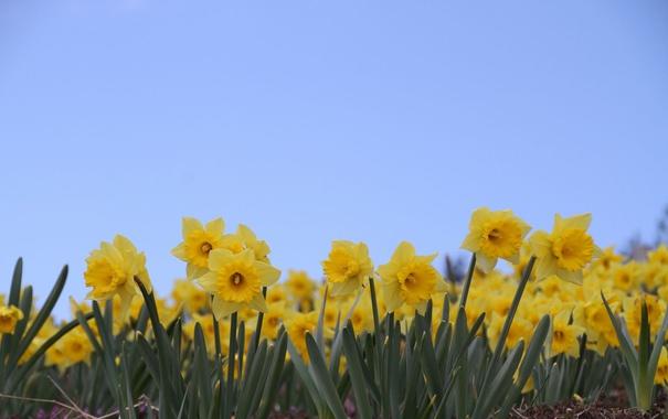 Фото обои небо, цветы, голубое, жёлтые, нарциссы