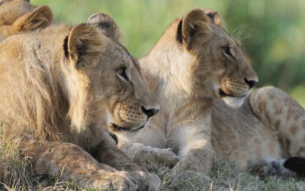Фото обои трава, морда, кошки, профиль, львы, львята