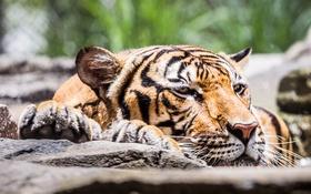 Картинка тигр, зверь, боке