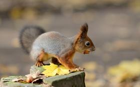 Обои осень, листья, природа, животное, пень, белка, орехи
