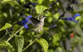 Обои цветы, нектар, птица, растения, колибри, солнечно