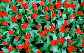 Обои листья, лепестки, тюльпаны, клумба