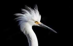 Картинка птица, фон, Snowy Egret