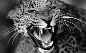 Обои Леопард, кошка, зверь