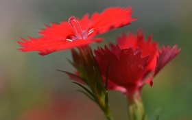 Обои макро, растение, лепестки, гвоздика