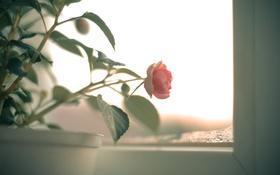 Обои цветок, листья, розовая, роза, лепестки