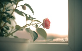 Картинка цветок, листья, розовая, роза, лепестки