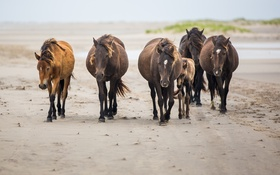 Обои табун, кони, лошади, прогулка