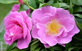Обои листья, роза, лепестки, бутоны, цветение