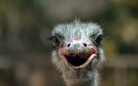 Обои bird, smile, macro, animal, eye, portrait, ostrich
