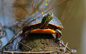 Обои вода, дерево, черепаха, ветка, рептилия