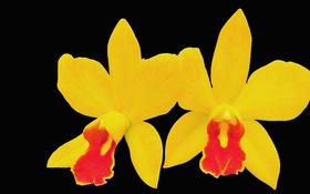 Обои цветы, фон, лепестки, орхидея