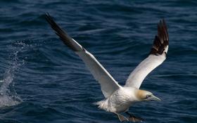 Обои вода, птица, крылья, чайка, клюв