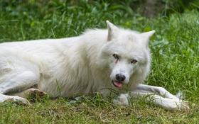 Обои язык, белый, трава, взгляд, волк, ©Tambako The Jaguar
