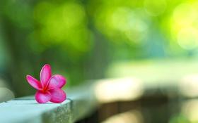 Обои цветы, лепестки, плюмерия, боке