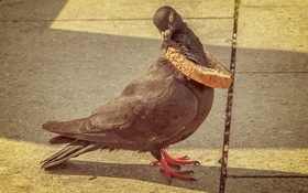 Обои птица, голубь, ситуация, хлебная корка