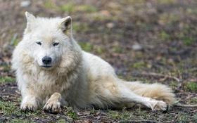 Обои хищник, отдых, ©Tambako The Jaguar, волк