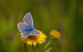 Картинка цветок, природа, бабочка, растение, крылья