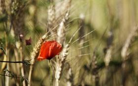 Картинка красный, лепестки, мак, цветок, колоски