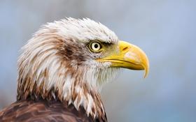 Картинка глаз, клюв, Белоголовый орлан