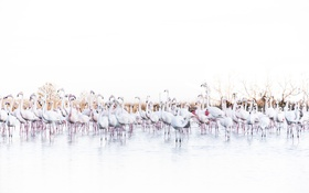 Картинка фламинго, природа, птицы