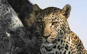 Обои взгляд, морда, природа, животное, хищник, леопард