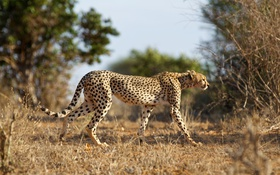 Обои кошка, природа, гепард, Cheetah