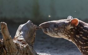 Обои природа, фон, Tapir