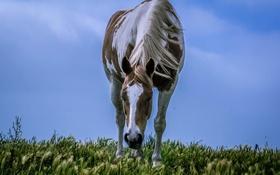Обои поле, небо, ветер, лошадь