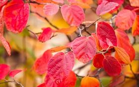 Картинка осень, листья, макро, ветка, багрянец