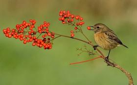 Обои природа, ягоды, птица, клюв