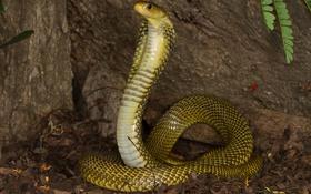 Картинка змея, кобра, хладнокровное животное