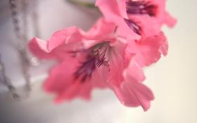 Картинка розовые, лепестки, макро, цветы